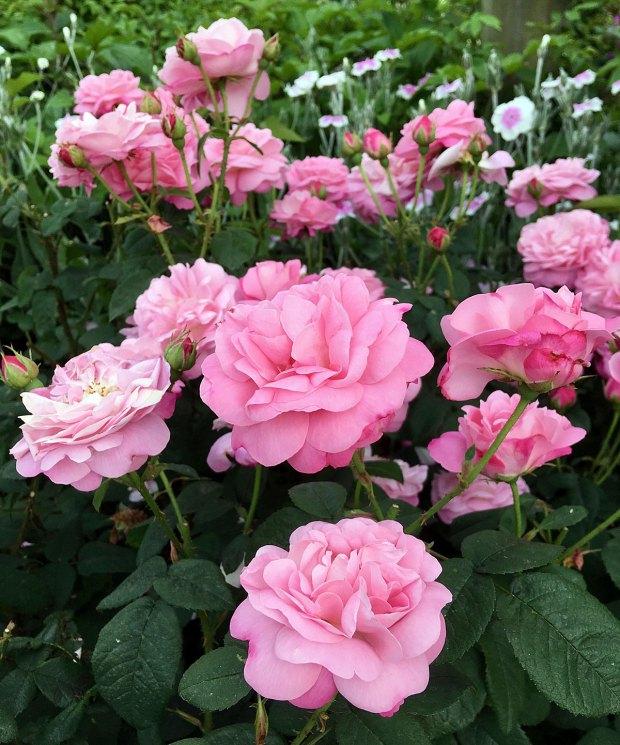 Pink shrub rose