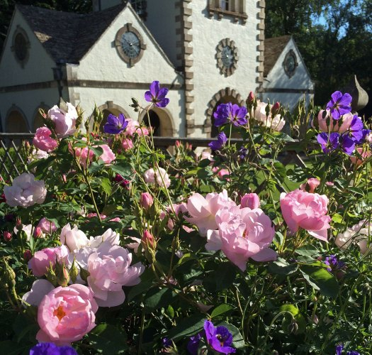 Pink roses with purple geraniums at a sunny Bodnant Gardens