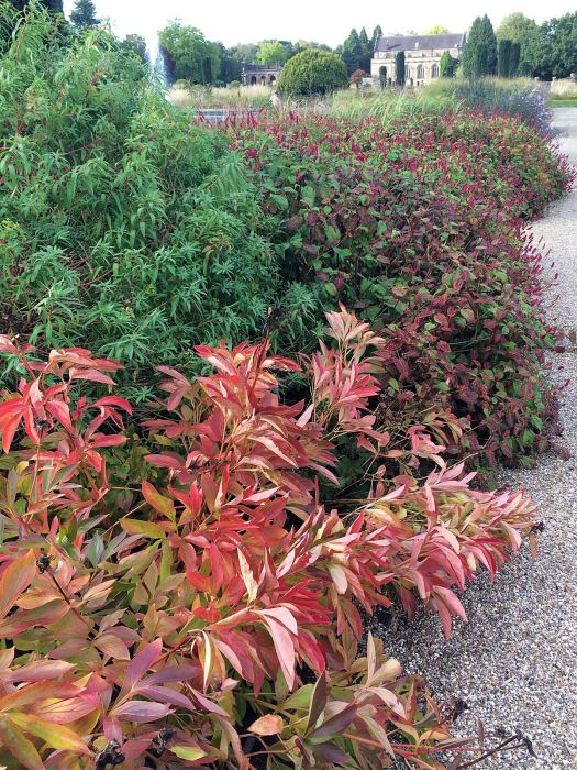 Peony foliage in autumn colours in a border at Trentham Gardens