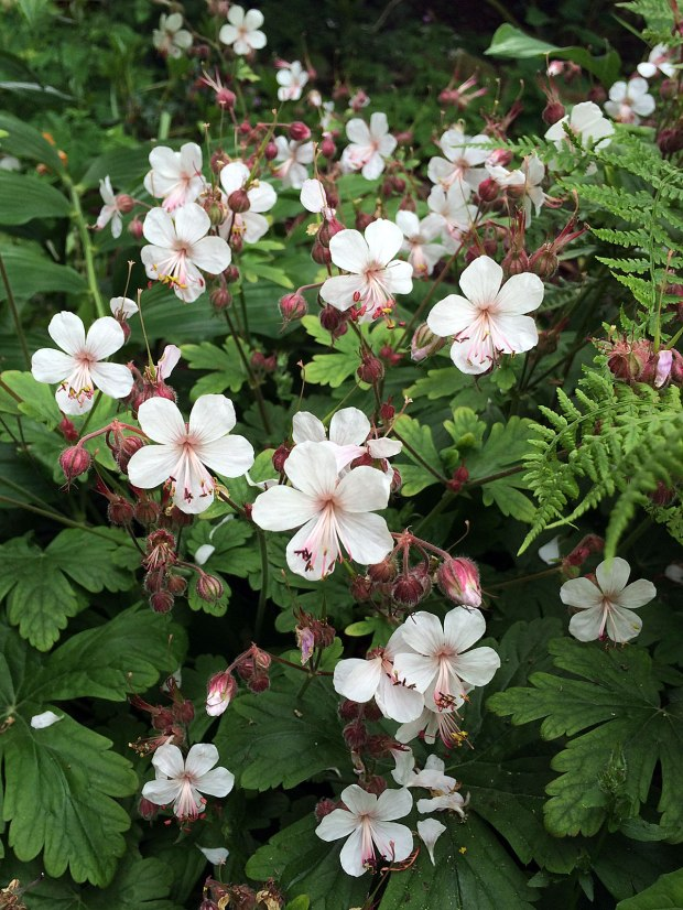 White geranium with ferns