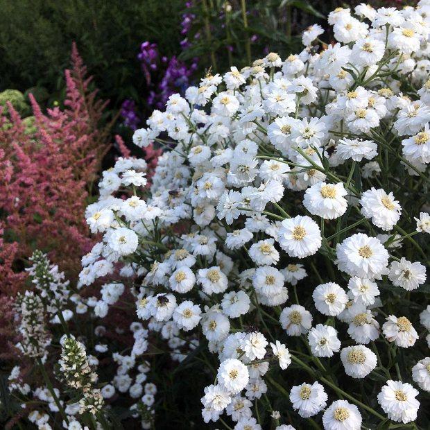 Achillea ptarmica (white sneezeweed)