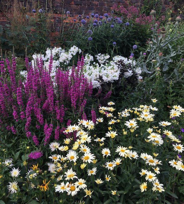 Lythrum, leucanthemum, phlox and echinops