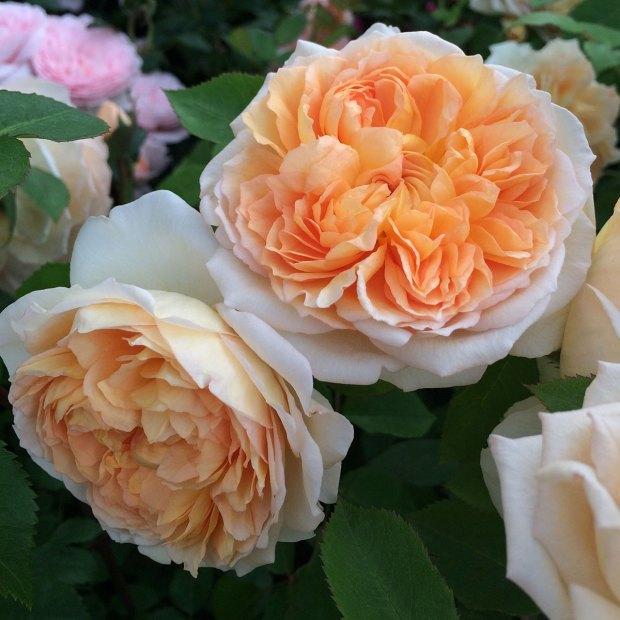 Bathsheba climbing rose has large, apricot flowers