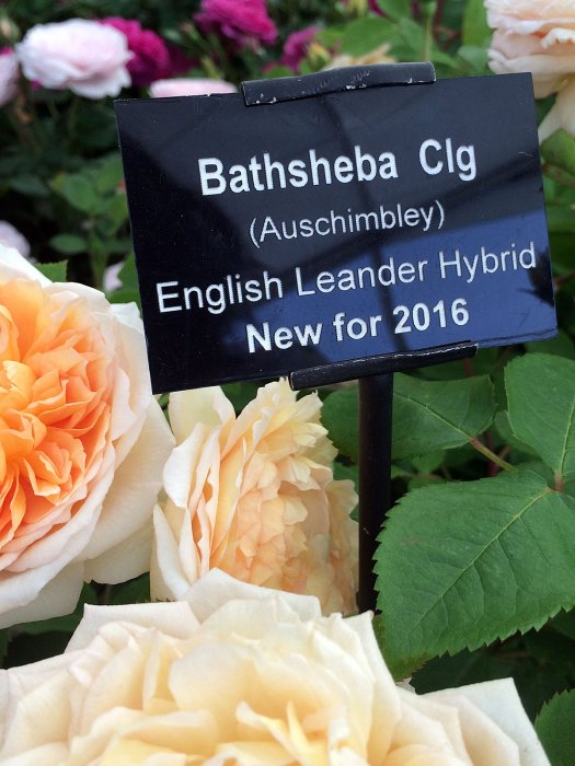 Bathsheba plant label