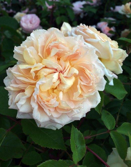 Bathsheba roses