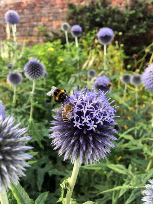 Bees foraging on Echinops ritro