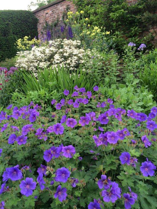 Blue geraniums in a perennial border