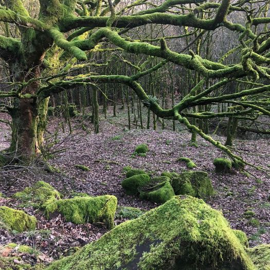 Trees covered by moss in a Lancashire wood