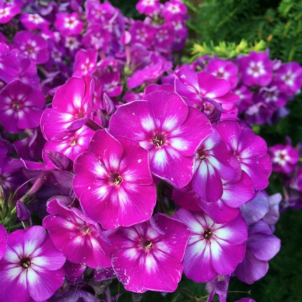 Bright pink and white phlox