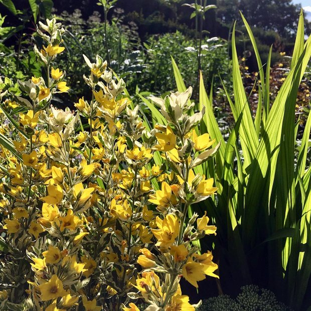 Variegated loosestrife backlit by the sun