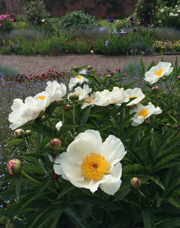White peony with golden stamens in a flower garden