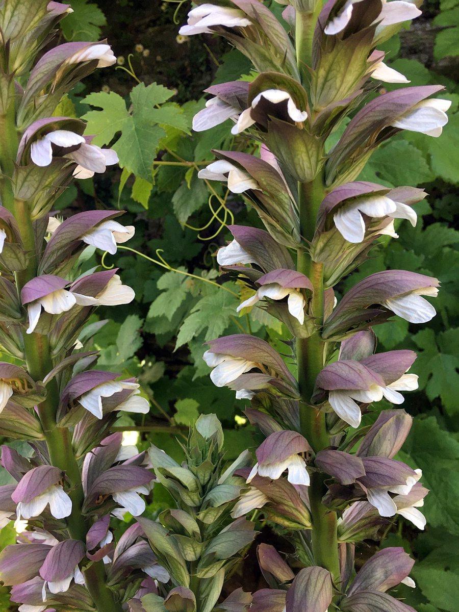 Aconitum flowers
