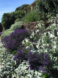 Eryngium, lavender and stachys in a terraced garden