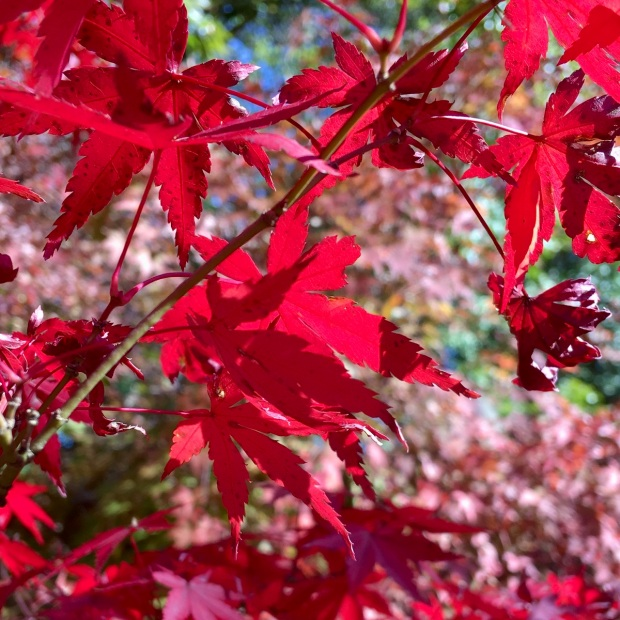 Red acer leaves in sunlight