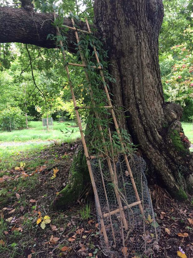 A trellis framework helps a vine to climb a tree