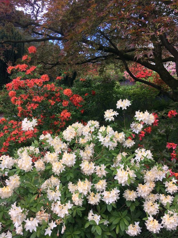 Colourful azaleas at Bodnant Gardens