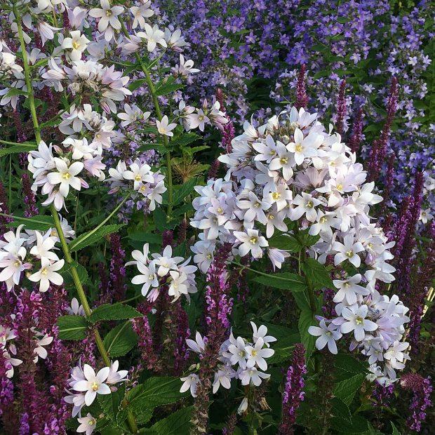 Campanula lactiflora at RHS Harlow Carr Garden