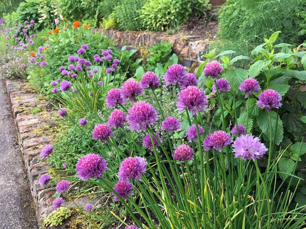 Chives in Chatsworth's herb garden