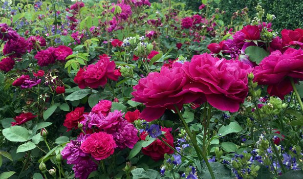 Darcey Bussell Roses with polemonium