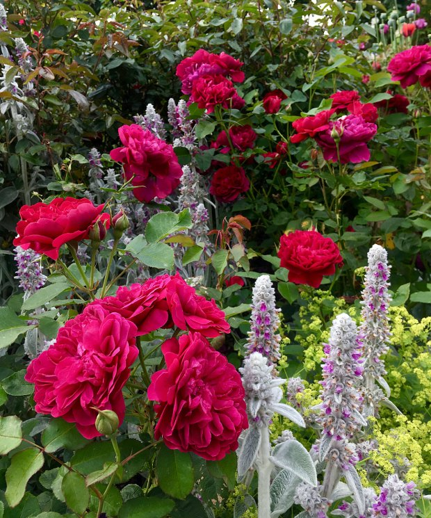 Darcey Bussell Rose with perennials