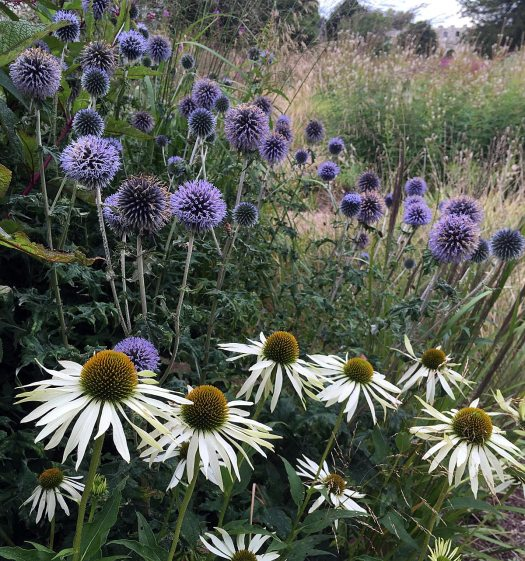 Plant combinations: white Echinacea and blue Echinops