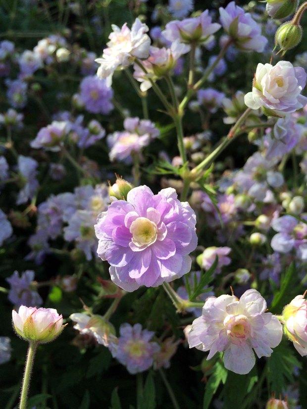 Geranium pratense 'Summer Skies': hardy geranium with double flowers