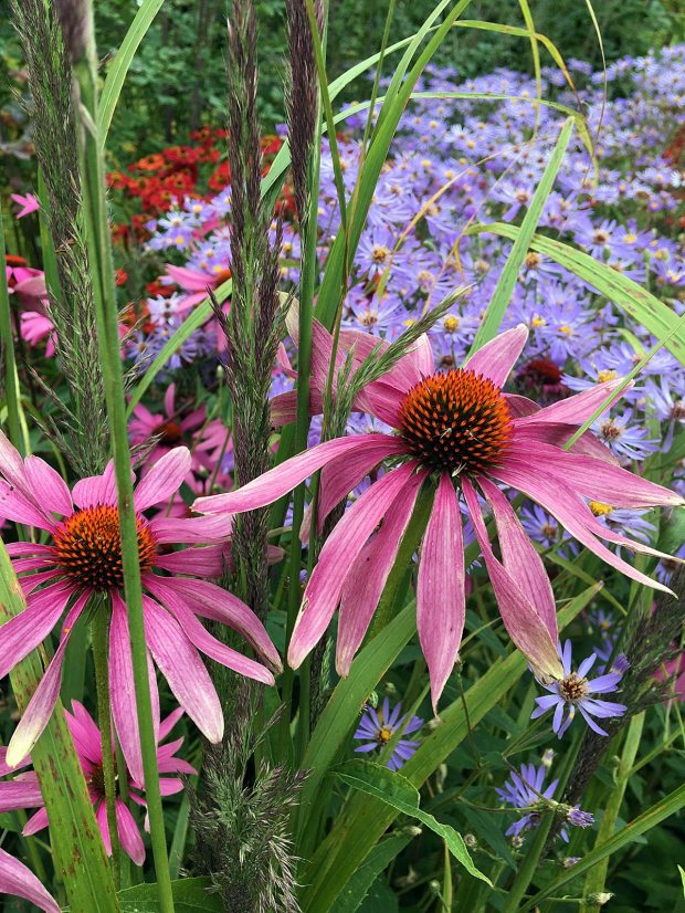 Plant combinations: Echinacea, Aster, Helenium and grasses