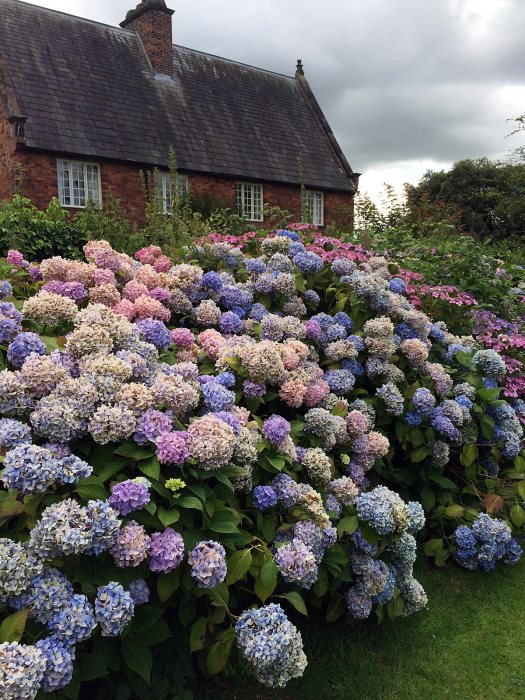 Blue and pink hydrangeas at Arley Hall