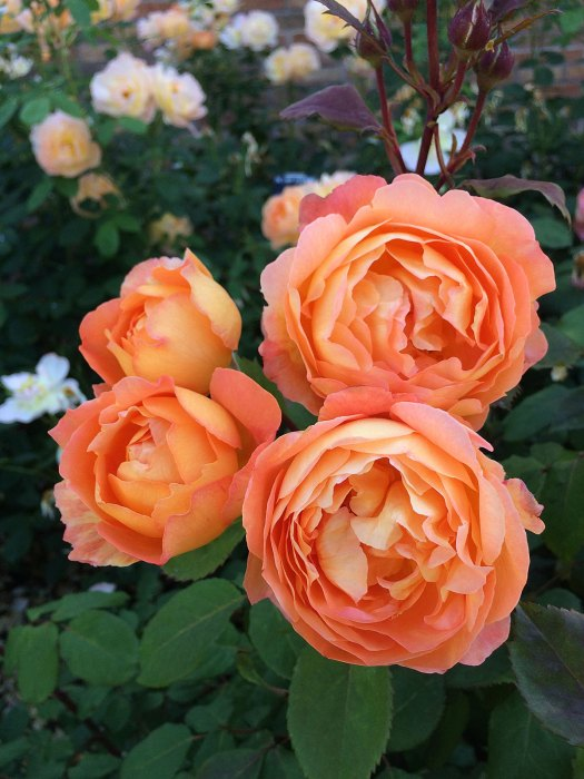 Lady Emma Hamilton rose