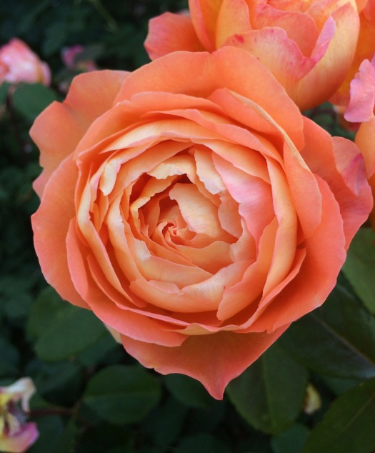 Bold apricot rose: Lady Emma Hamilton rose