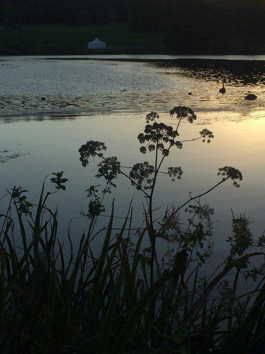 Lakeside plants at Trentham Gardens at dusk