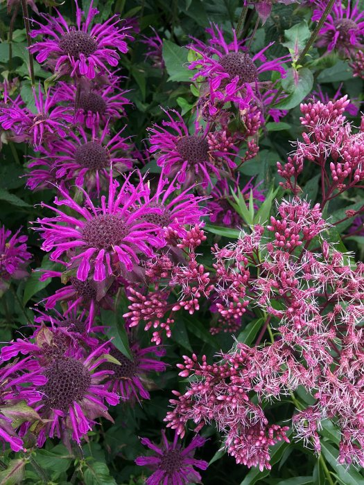 Plant combinations: Monarda and Eupatorium