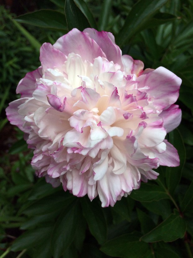 Pink and cream double peony