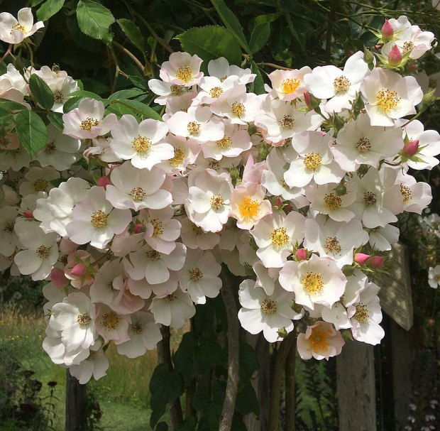 Cluster of pale pink, single rambler rose