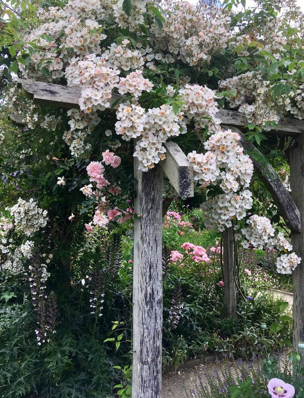 Rambler rose in full flower on an arbour at Rosemoor