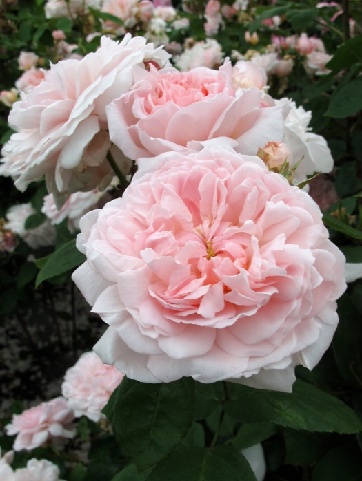 Rosa 'Eglantyne' - pink roses