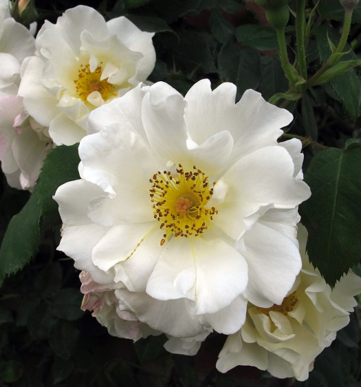 Rosa 'Mountain Snow' - ivory white rambling rose