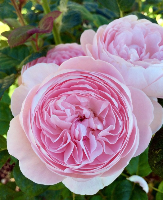 Rosa 'Queen of Sweden' has clear pink rosettes