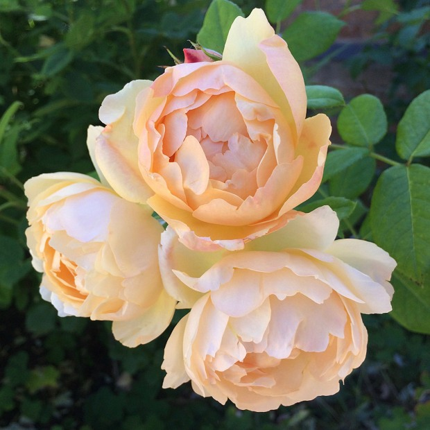 Rosa 'Wollerton Old Hall' - pale apricot rose