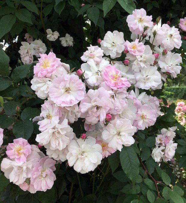 Cluster of pale pink rambling roses
