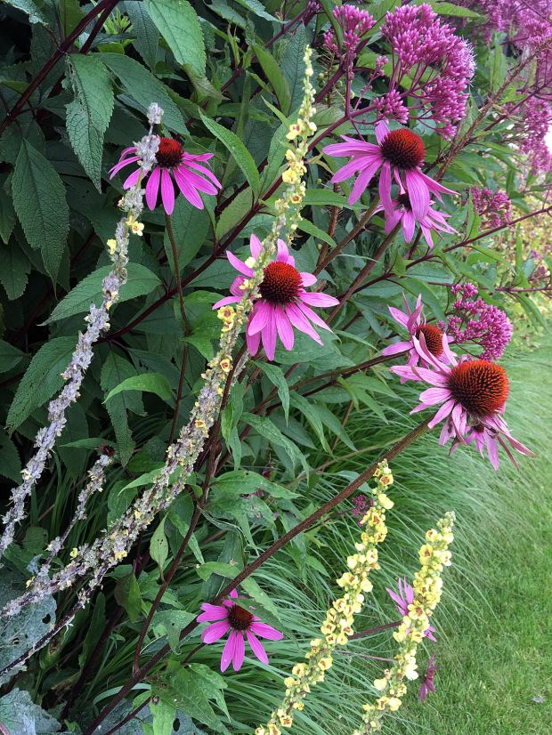 Plant combinations: Verbascum, Echinacea and Eupatorium