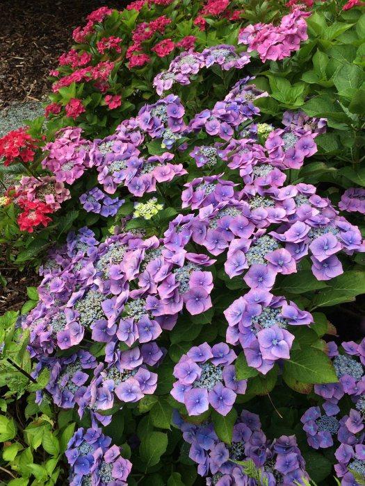 Blue lacecap hydrangea shrub