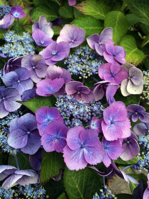 Blue lacecap hydrangea with opening buds