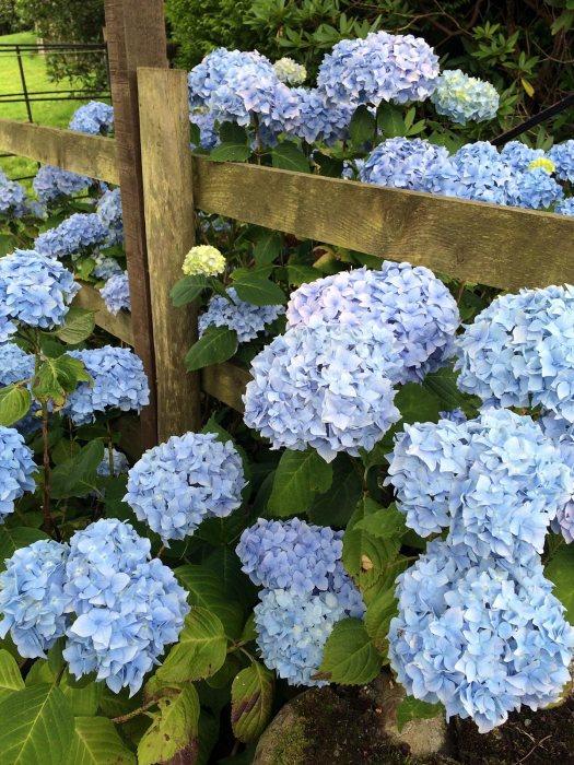 Blue mophead hydrangea