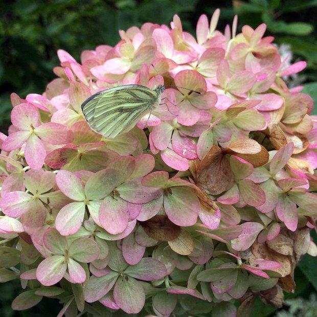 Butterfly on a hydrangea