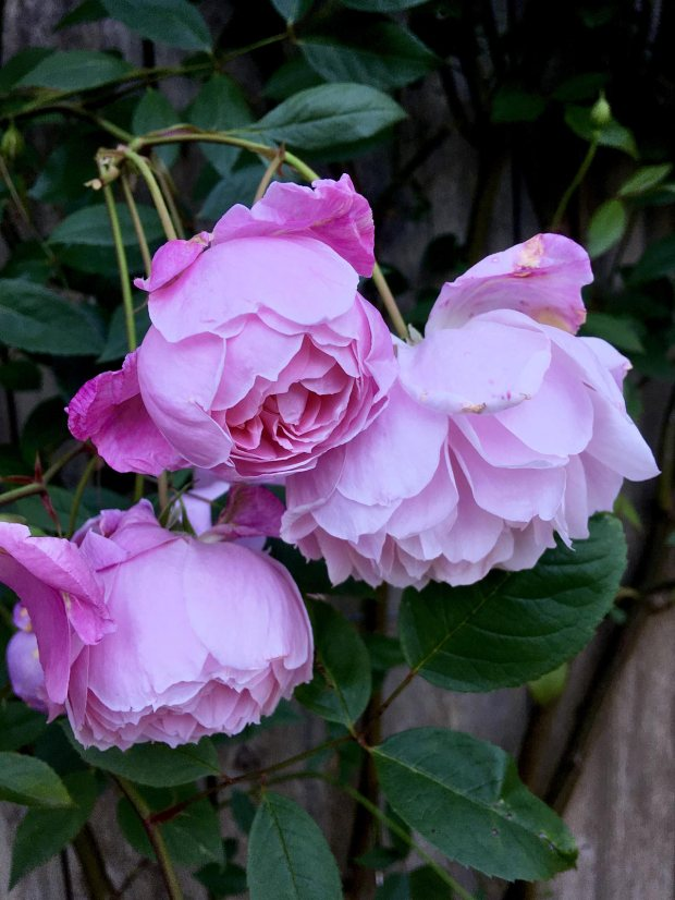 Cluster of three pink roses