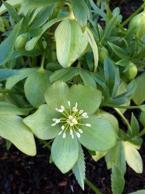 Helleborus abruzzicus has green flowers