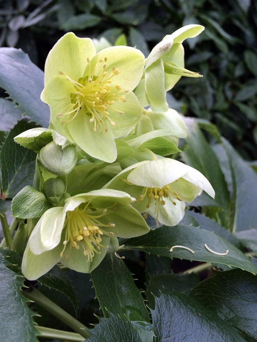 Helleborus argutifolius has pale green flowers