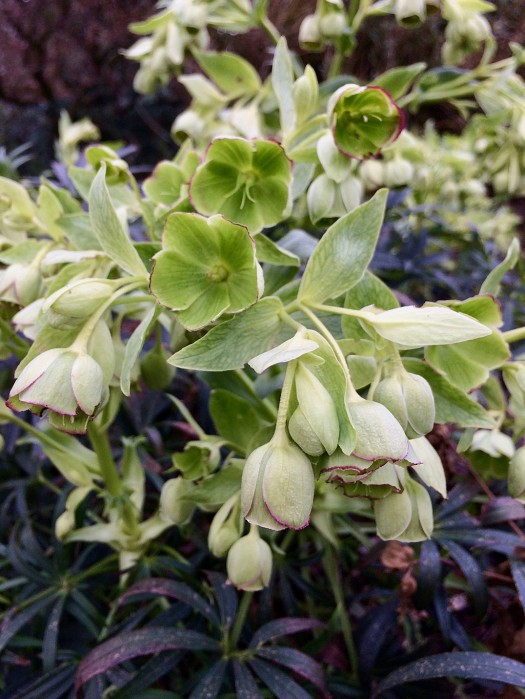 Helleborus foetidus with dark foliage