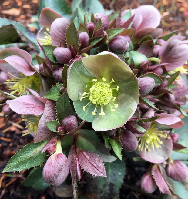 Helleborus sternii has copper coloured flowers with green faces